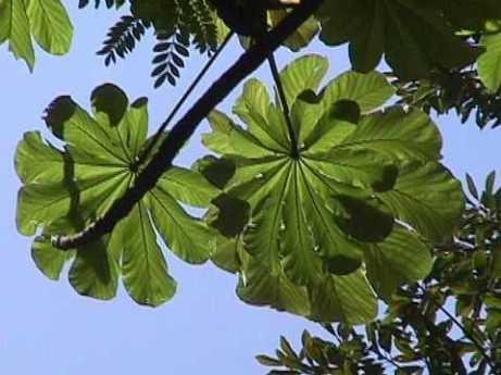 Cecropia_obtusifolia_03